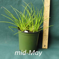 White Bracted Sedge in a 4 x 5 in. (32 fl. oz.) nursery container in mid-May