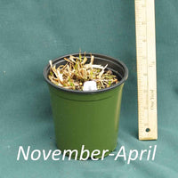 White Bracted Sedge in a 4x5 in. (32 fl. oz.) nursery container in November through April