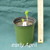White False Indigo in a 4 x 5 in. (32 fl. oz.) nursery container as it starts to emerge in early April