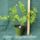 White False Indigo in a 4 x 5 in. (32 fl. oz.) nursery container between June and September