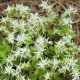 Close up of the starry white flowers of Sedum ternatum