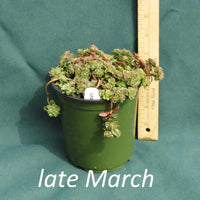 Woodland Stonecrop in a 4 x 5 in. (32 fl. oz.) nursery container in late March