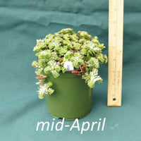 Woodland Stonecrop in a 4 x 5 in. (32 fl. oz.) nursery container in mid-April