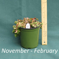 Woodland Stonecrop in a 4 x 5 in. (32 fl. oz.) nursery container from November through February