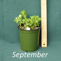 Woodland Stonecrop in a nursery container during the month of September