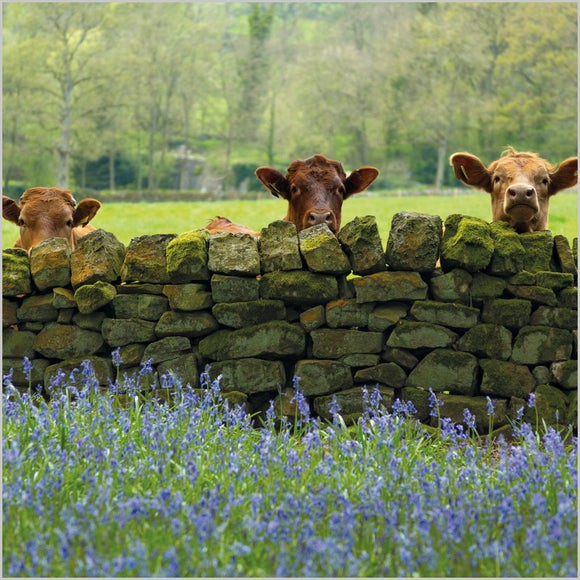 Cattle and Bluebells in  Blank Card