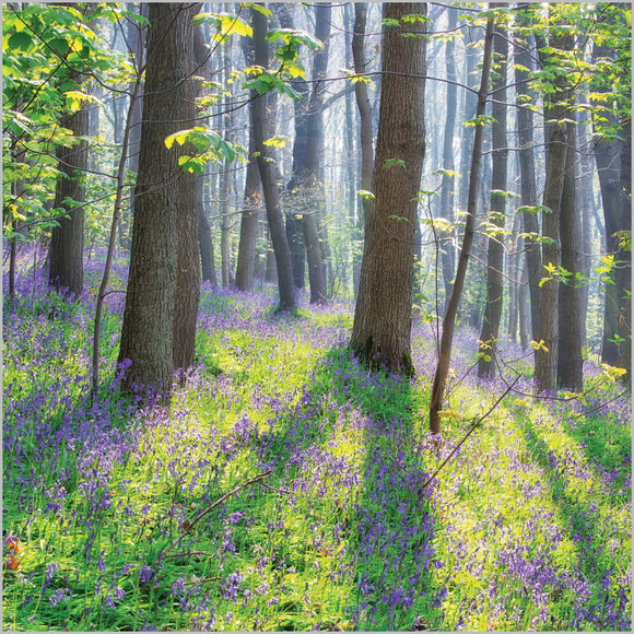 Bluebell Woodland Blank Card