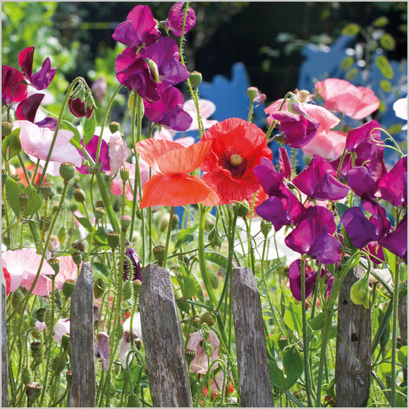 Lathyrus Odoratus and Papaver rhoeas 'Shirley Blank Card