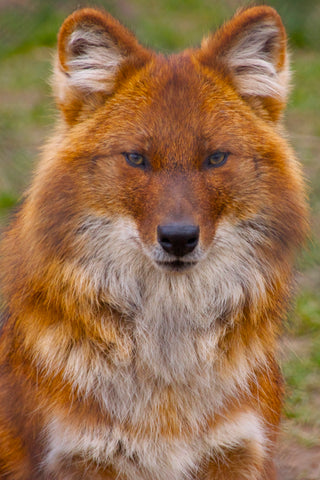 Dhole Aka Indian Wild Dog