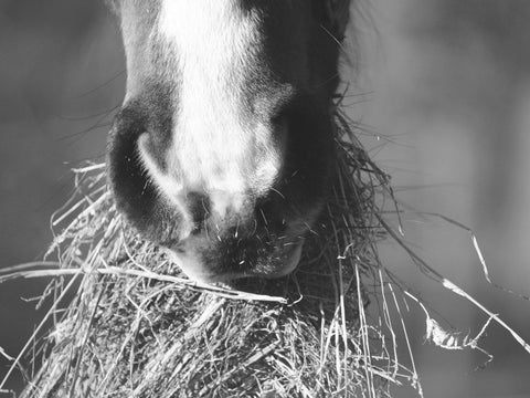 horse eating hay during winter