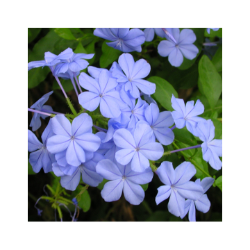 Plumbago Auriculata-Nila Chitrak(Blue and White)