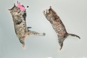 Jumping Cats with Toy