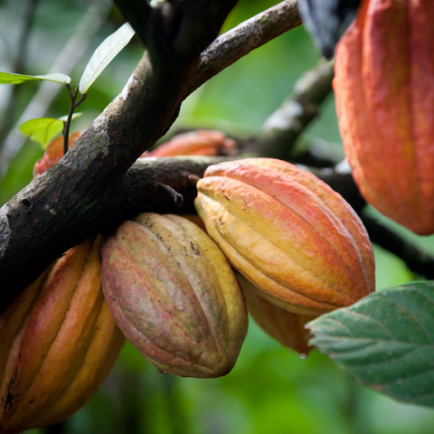 The Cacao Plant