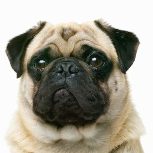 bunny punch salmon oil for dogs and cats pug