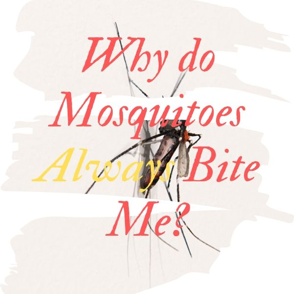 Why do Mosquitoes Bite Me More Than Anyone Else?