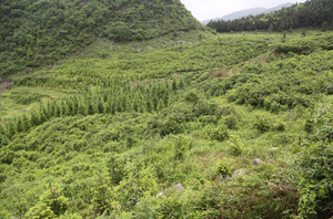 Guizhou Maojian Wild Green Tea from 90-100 Year Old Tea Trees