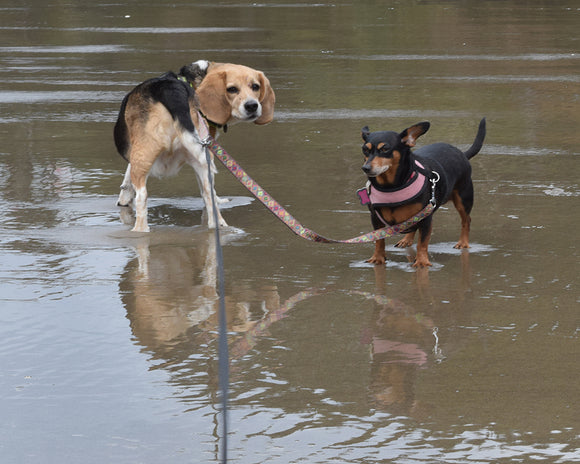 Dog - Water Safety