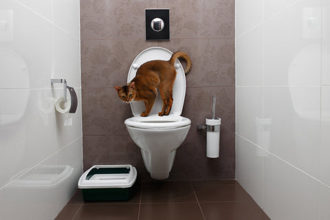 cat on a toilet, looking at a litter box