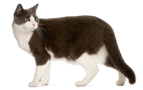 cat with primordial belly