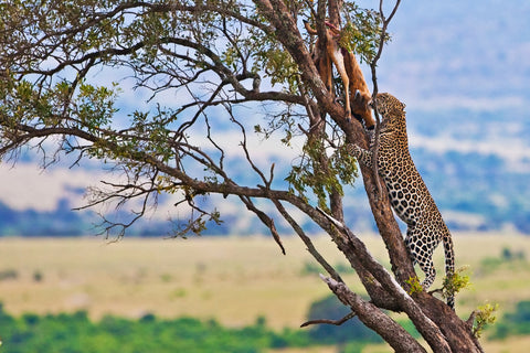 leopard in tree with prey