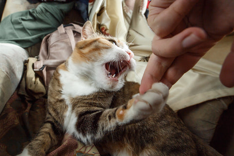 tabby cat about to bite and claw a hand