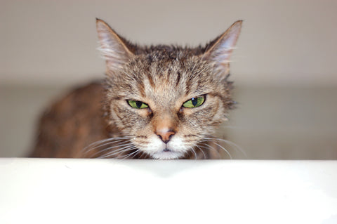cat with an unhappy expression