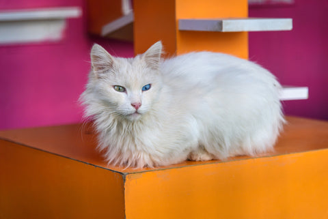 Turkish Van with one amber and one blue eye