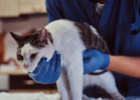 sick cat being examined by a veterinarian