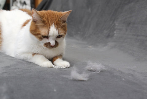 shedding cat with hair on the sofa
