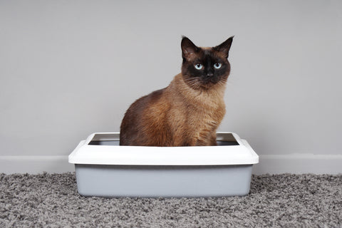 siamese cat using the litter box