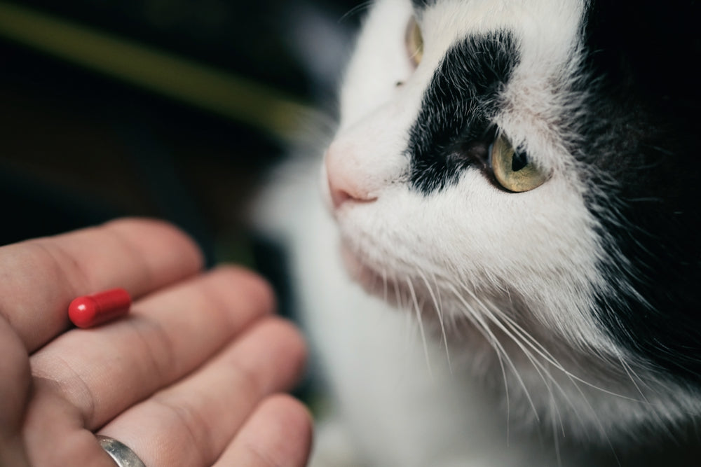 cat looking at a pill