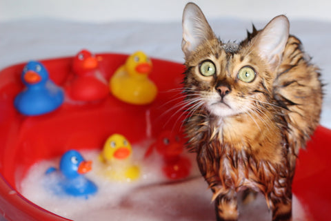 wet cat in a bathtub with rubber duckies