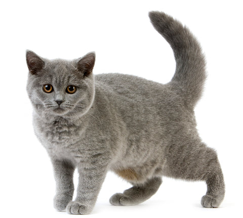 gray cat with primordial belly
