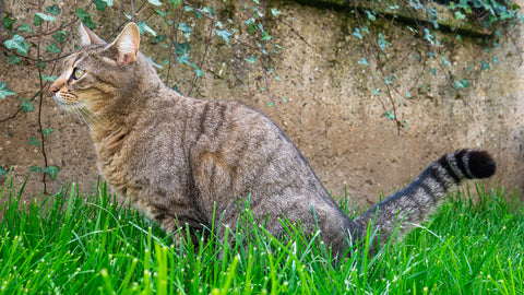 cat peeing in the grass