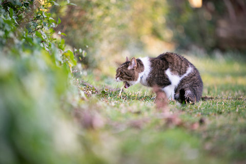 cat throwing up on grass