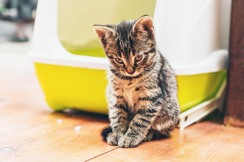 kitten in front of a hooded litter box