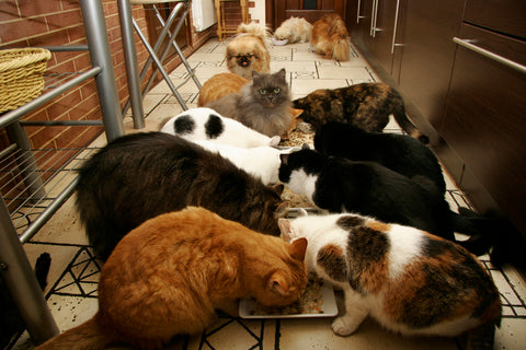 many cats eating all at once