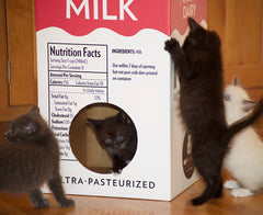 Four foster kittens play in the Mega Milk Carton