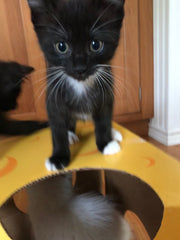 Foster kitten Jane stands on the Monster Cheese Wedge