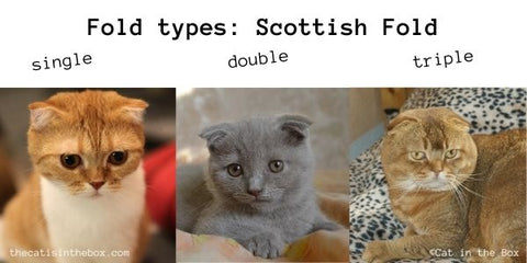 types of ear folds in the Scottish Fold Cat