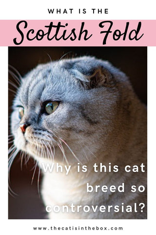 What is the Scottish Fold? Pinterest-friendly pin
