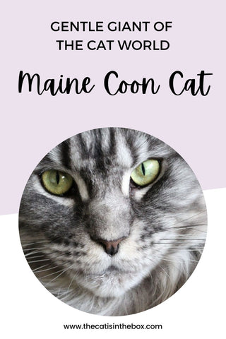 What is the Maine Coon Cat - Pinterest-friendly pin