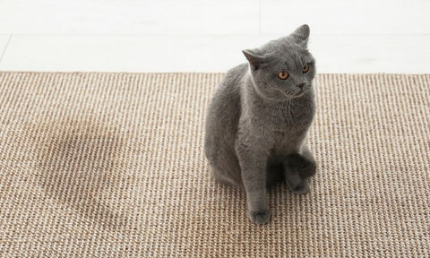 cat and pee on carpet