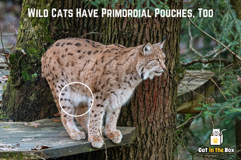 Wild Cats Have Primordial Pouches, tooo