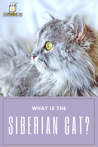 What is the Siberian Cat? Pinterest graphic