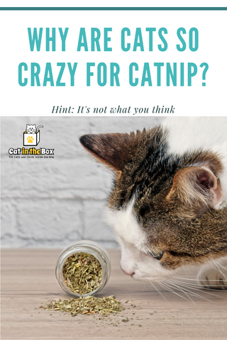 Why are cats so crazy for catnip Pinterest-friendly pin