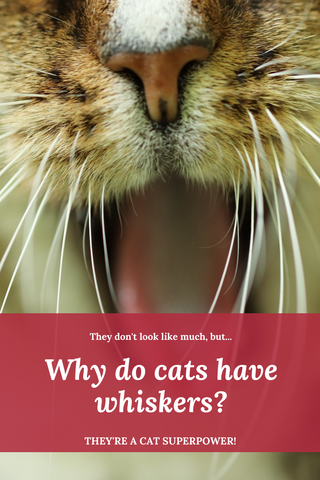 Why do cat's have whiskers Pinterest friendly pin