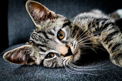 tabby cat with long whiskers