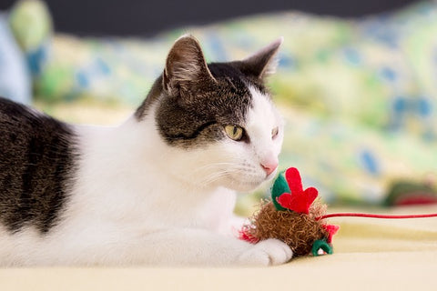 white cat with black patches playing with a toy