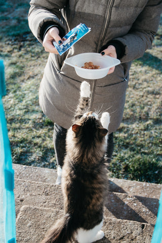 cat begging for food